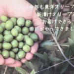 今年もこの季節になりました。小豆島・新漬けオリーブ